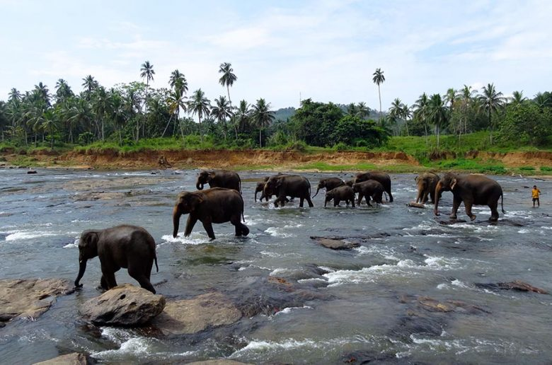 elephants_pinnawala