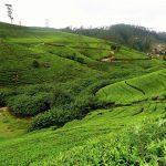 plantation_de_the_nuwara_eliya