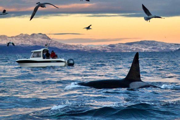 baleines norvege tromso