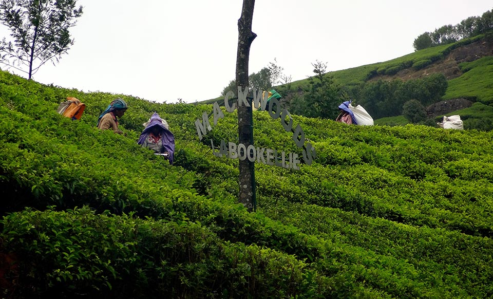 plantation_de_the_nuwara_eliya