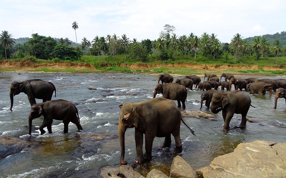 elephants pinnawala