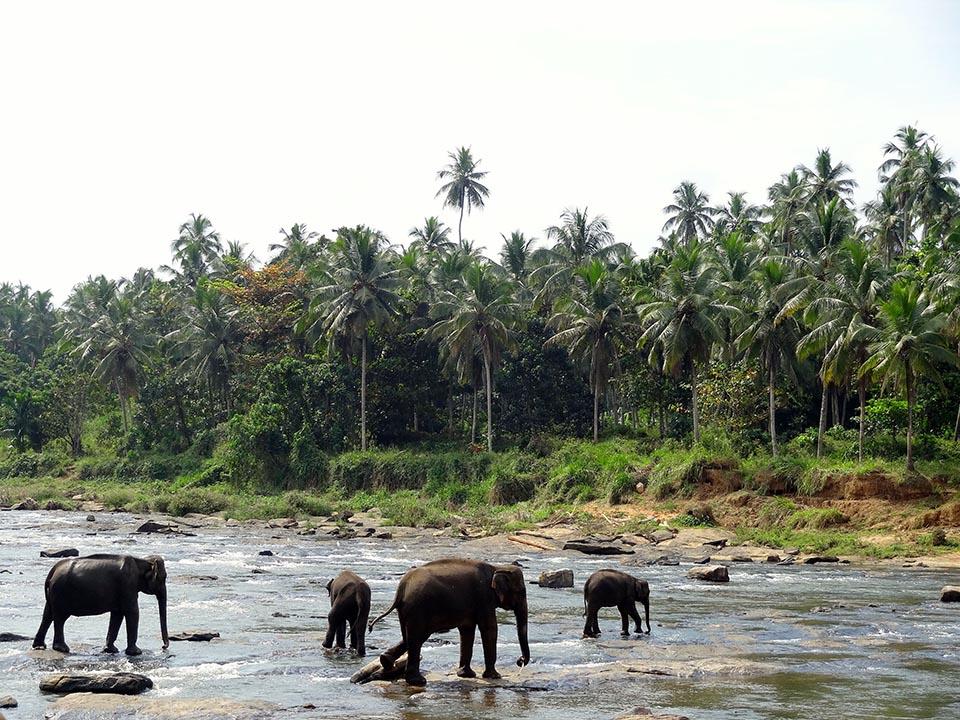 elephants de pinnawala