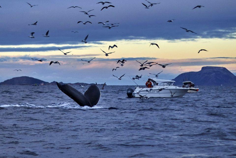 visiter_tromso_observation_baleines