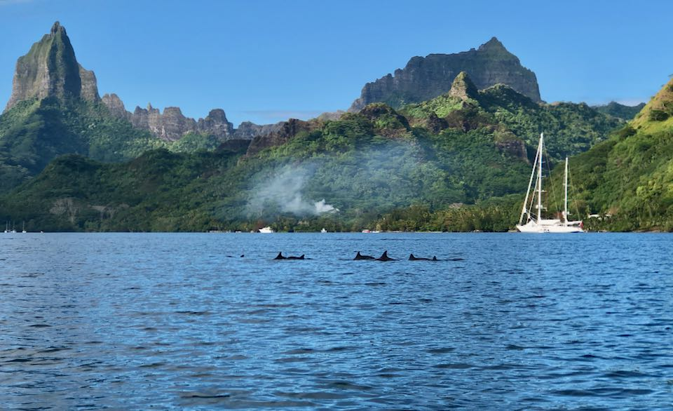 dauphins moorea